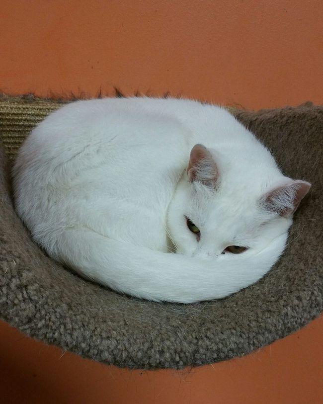 Cat Feline Sleeping Cat White Color Furkids Atlanta Ga
