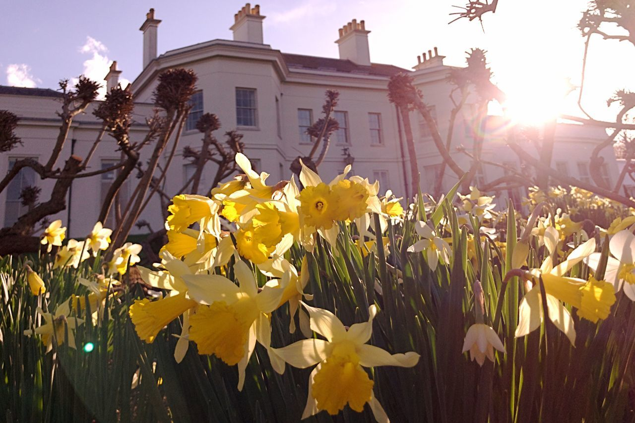 Flower Building Exterior Yellow Architecture Built Structure Outdoors No People City Blooming Plant Beauty In Nature Petal Growth Fragility Nature Flower Head Day Close-up Springtime Spring Flowers Daffodils Into The Light
