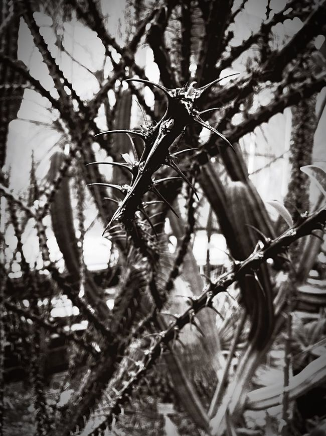Blackandwhite Sting Needles Tree Nature