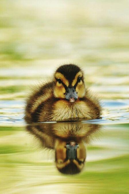 Duck Animal Themes Animal Love Cute Ducks