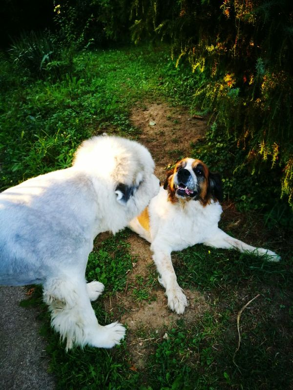 Two Is Better Than One Family❤ Dog Love St Bernard Dog Great Pyrenees Capture The Moment Enjoying Life Non Urban Scene Hungary No People Animal Themes Tranquility Animal Photography HuaweiP9 Made By Me Aurora Minna