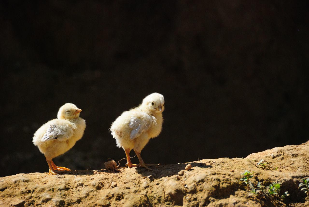 Chicken Little  Chicklet Baby Chicken Chicks