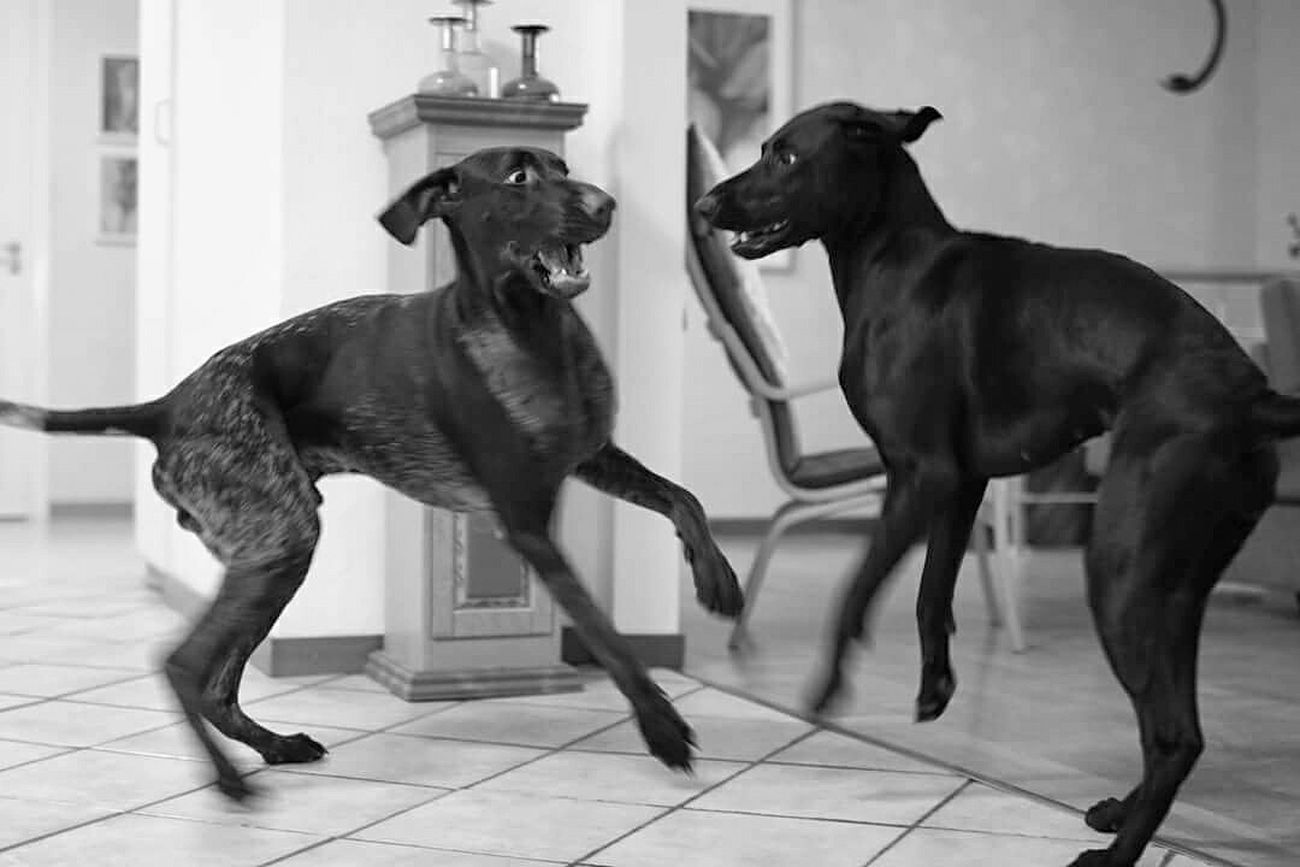 Crazy dogs! Dog Animals Bw_collection Bnw Bnw_collection Bnw_captures Bnw_life Bnw_society Vorsteh Germanshorthairedpointer Swedish SWEDEN_bw Open Edit