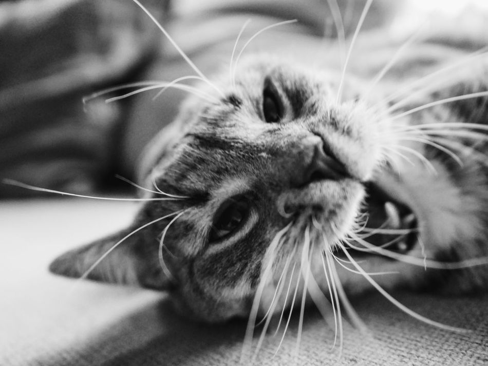 Pets Domestic Animals One Animal Animal Themes Domestic Cat Mammal Whisker Close-up Cat Focus On Foreground Feline Animal Head  Relaxation Zoology No People Surface Level Lion - Feline Pet Photography  Pet Portrait Kitten Photography Angry Anger Rageface Funny Faces Whiskers