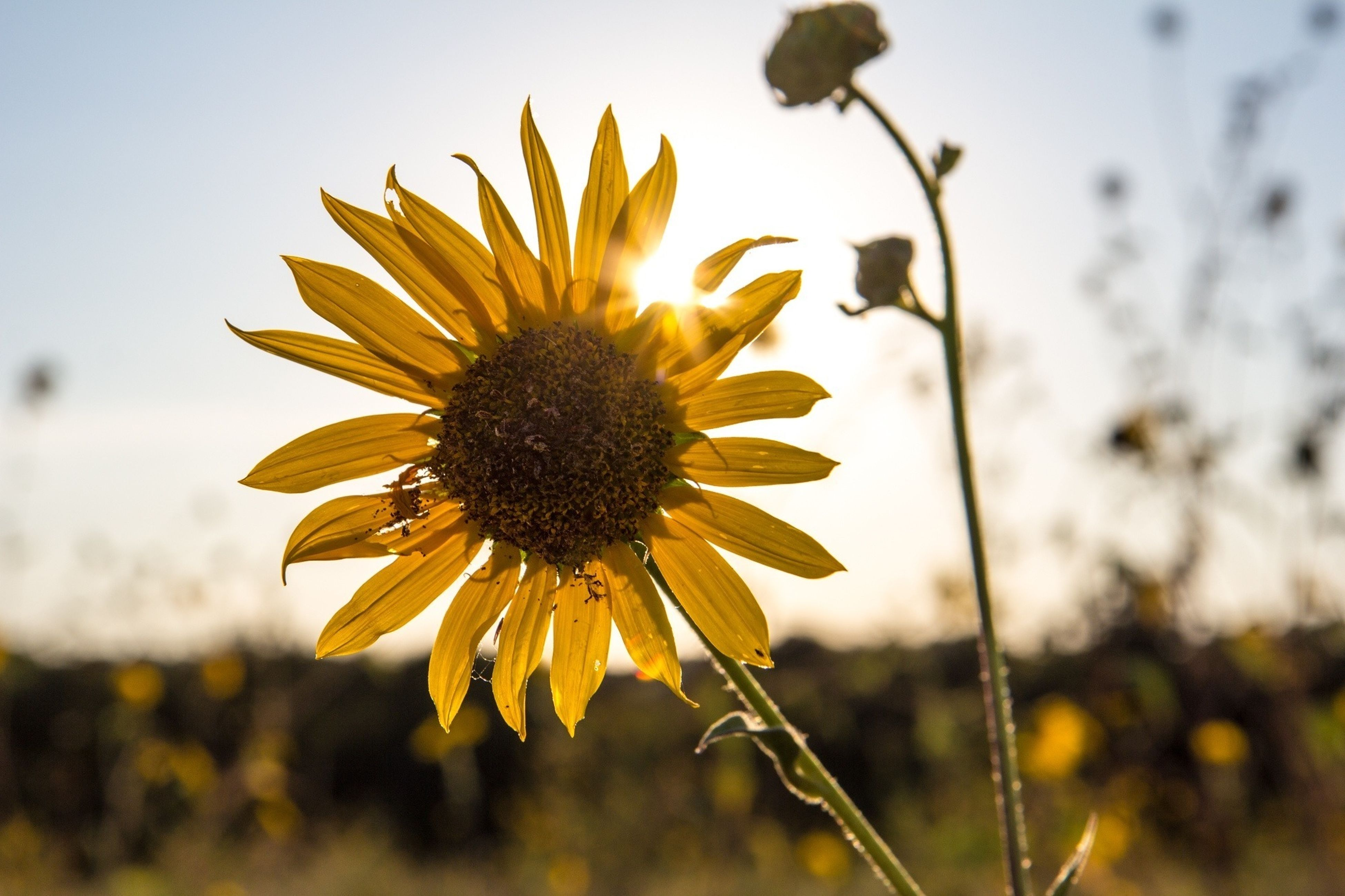 flower, fragility, petal, freshness, flower head, yellow, growth, focus on foreground, close-up, beauty in nature, plant, blooming, pollen, nature, single flower, stem, in bloom, sunflower, sky, field