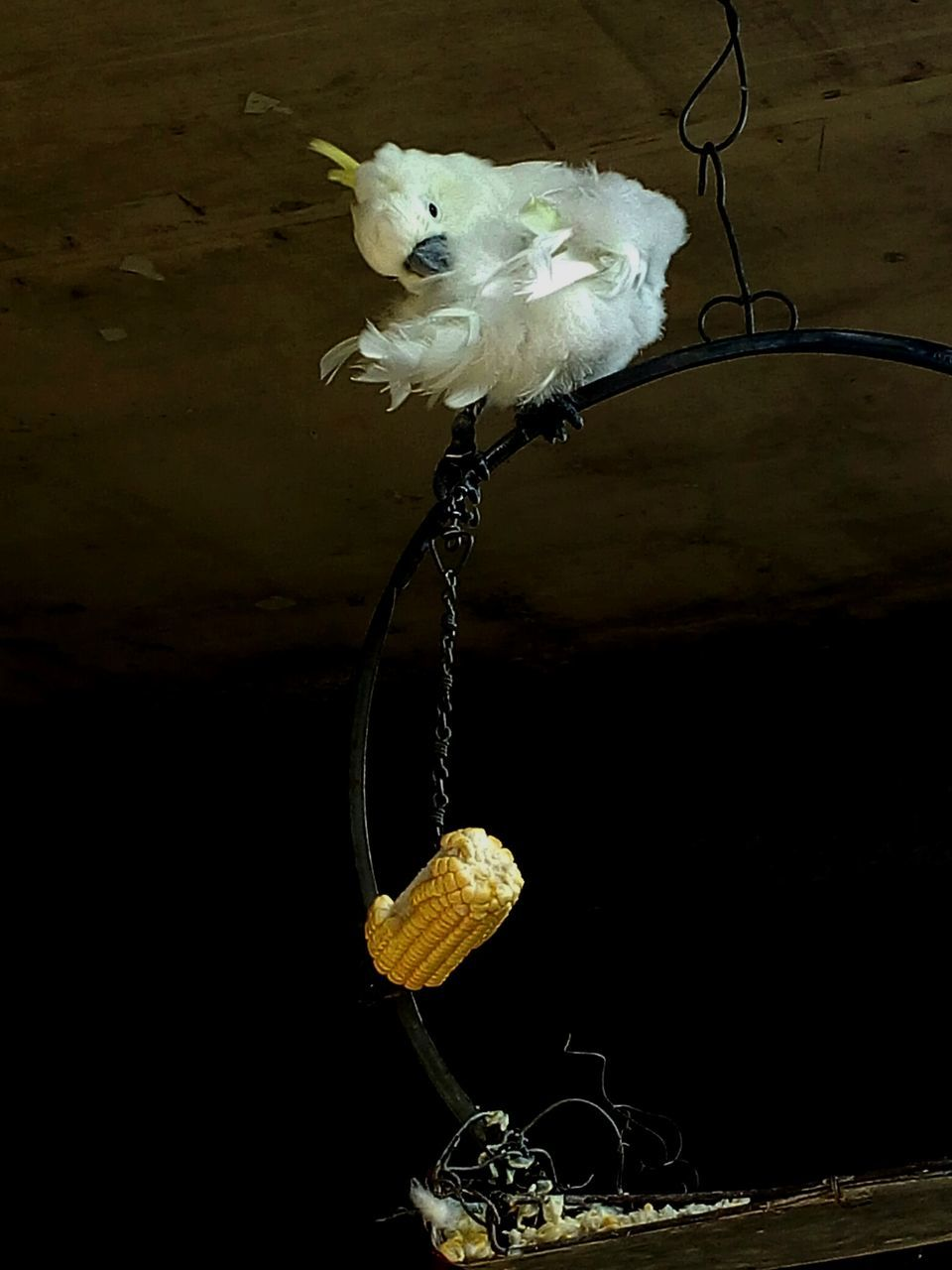 bird, no people, animal themes, indoors, one animal, domestic animals, perching, close-up, day