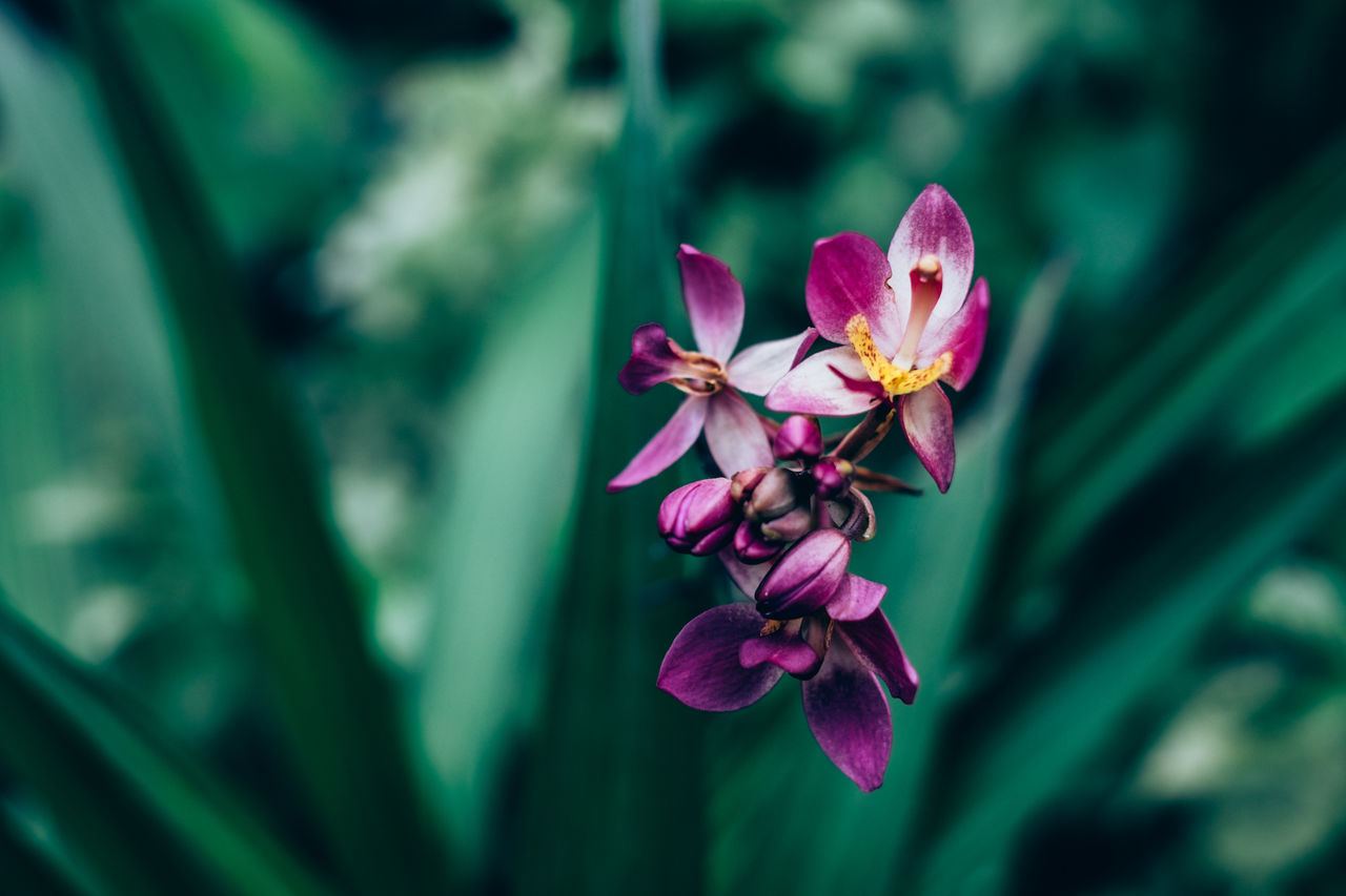 Ground orchid Beauty In Nature Blooming Botany Close-up Contrast Creamy Bokeh Day Exotic Flower Flower Head Fragility Freshness Gardening Green Color Growth Nature Outdoors Petal Pink Color Plant Selective Focus Violet Orchid Flower Bud Background
