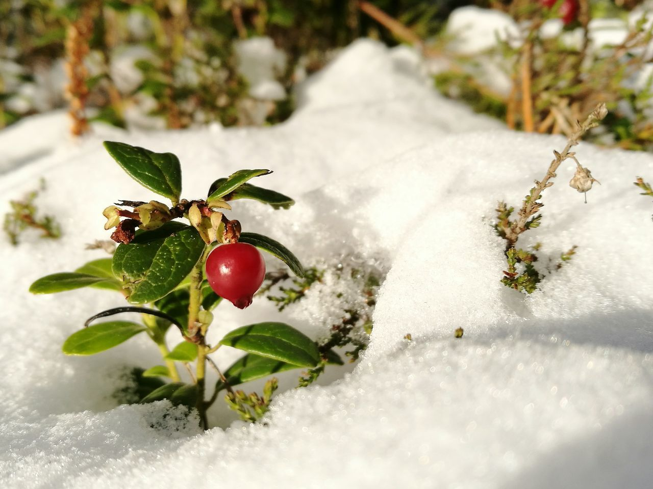 Winter Cold Temperature Snow Red Frozen Close-up Red Berries And Snow Berries In Snow Cowberry Evergreen Christmas
