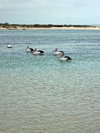 Musselroe Bay Animal Themes Animal Wildlife Animals In The Wild Beauty In Nature Bird Day Large Group Of Animals Nature No People Outdoors Scenics Sea Sky Swan Swimming Water Waterfront
