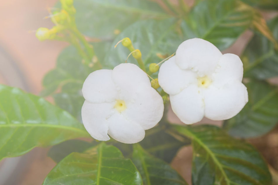 Beauty In Nature Blooming Close-up Day Flower Flower Head Fragility Freshness Growth Leaf Nature No People Outdoors Petal Plant White Color