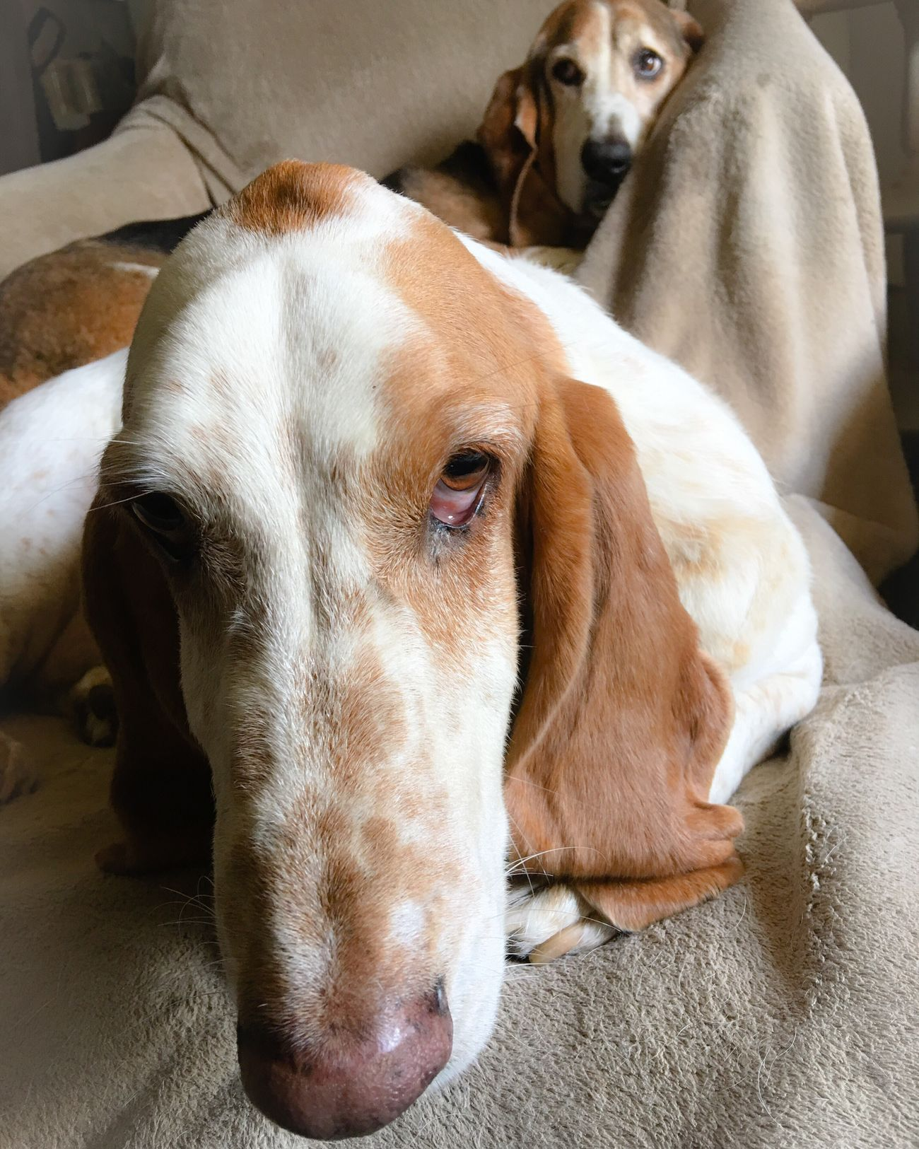 My William the poser and my Cooper the photo bomber Check This Out Hanging Out Hello World Enjoying Life Myseniorhound Relaxedand Happy Bassetworld Ilovebassethounds Livinandlovinlife Bassetmoments Bassetphotography Posing For The Camera Iphonephotography Color Photography