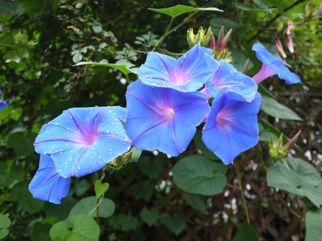 Asagao Beauty In Nature Blooming Blue Blue Flowes Close-up Flower Fragility Freshness In Bloom Morning Glory Nature No People Plant Purple Summer Flowers Water Droplets On Leaves