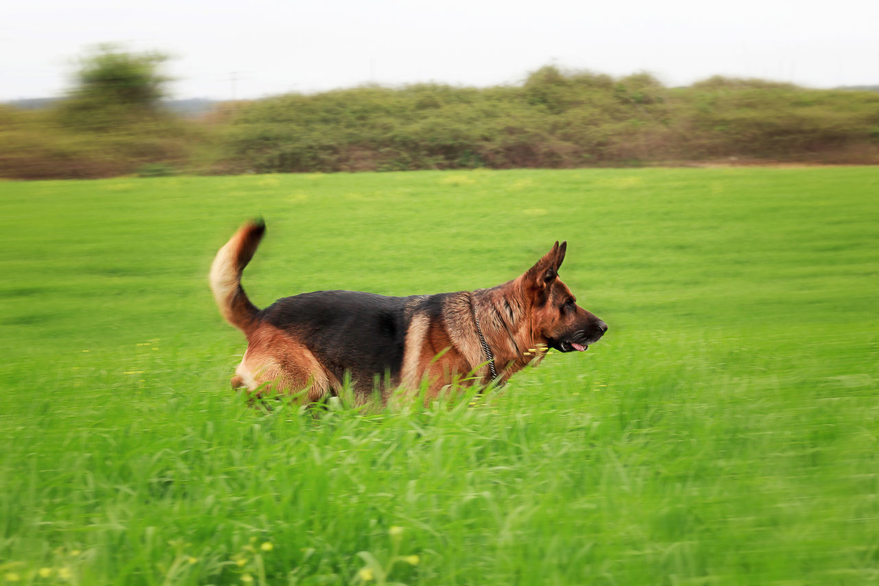 Adult German shepherd running in a green meadow. panning effect Animal Themes Day Domestic Animals Field German Shepherd Grass Green Green Color Growth Mammal Nature No People One Animal Outdoor Outdoors Panning Paws Pets Police Dog Race Security Guard