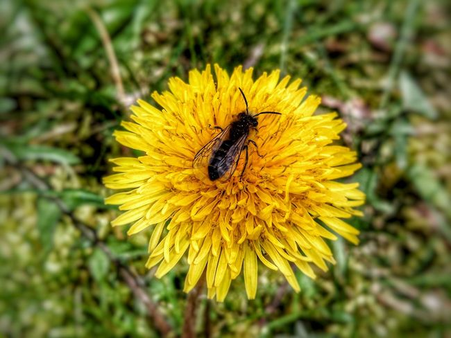 Bee 🐝 on a Flower ...... Bee And Flower Germany🇩🇪 GERMANY🇩🇪DEUTSCHERLAND@ Hdr_captures Flowers Smartphone Photography Smartphonephotography Hdr_Collection Hdr Edit Germany Nature Nature Photography Nature_collection Androidography Macro Photography Macro Hdr_lovers Naturelovers Green Color Green Winweiler