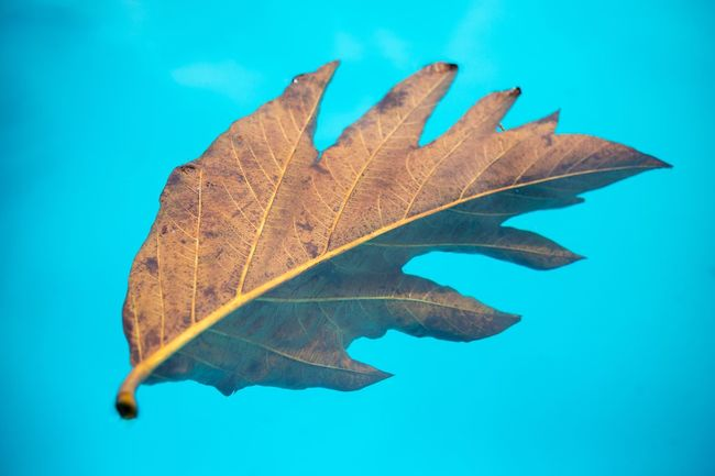 Leaf Blue Change Close-up Leaf Vein Autumn Natural Pattern Transparent Dry Fragility Maple Leaf Tranquility Natural Condition Water Nature Focus On Foreground Beauty In Nature Scenics