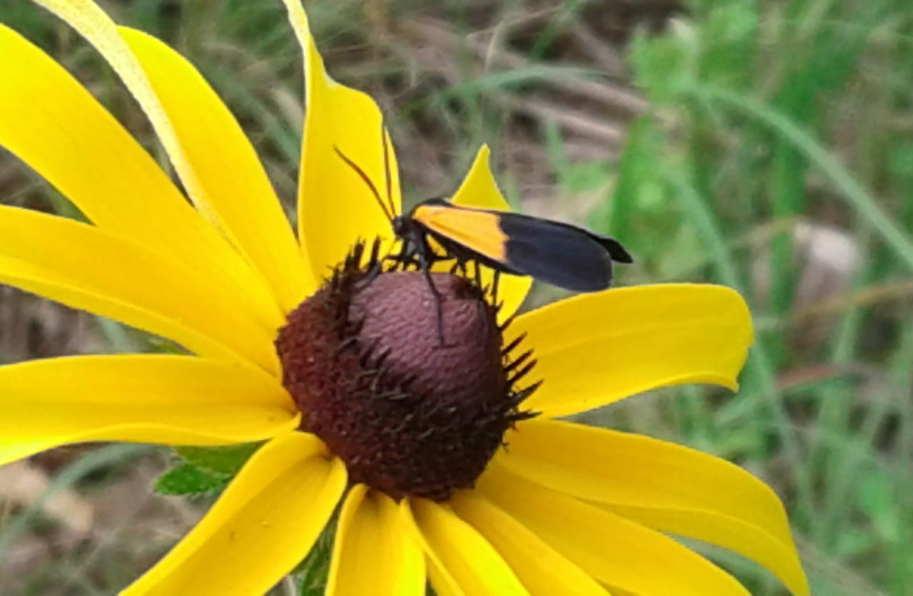 flower, petal, yellow, fragility, flower head, freshness, nature, plant, growth, pollen, beauty in nature, blooming, day, focus on foreground, outdoors, close-up, no people, black-eyed susan, animal themes
