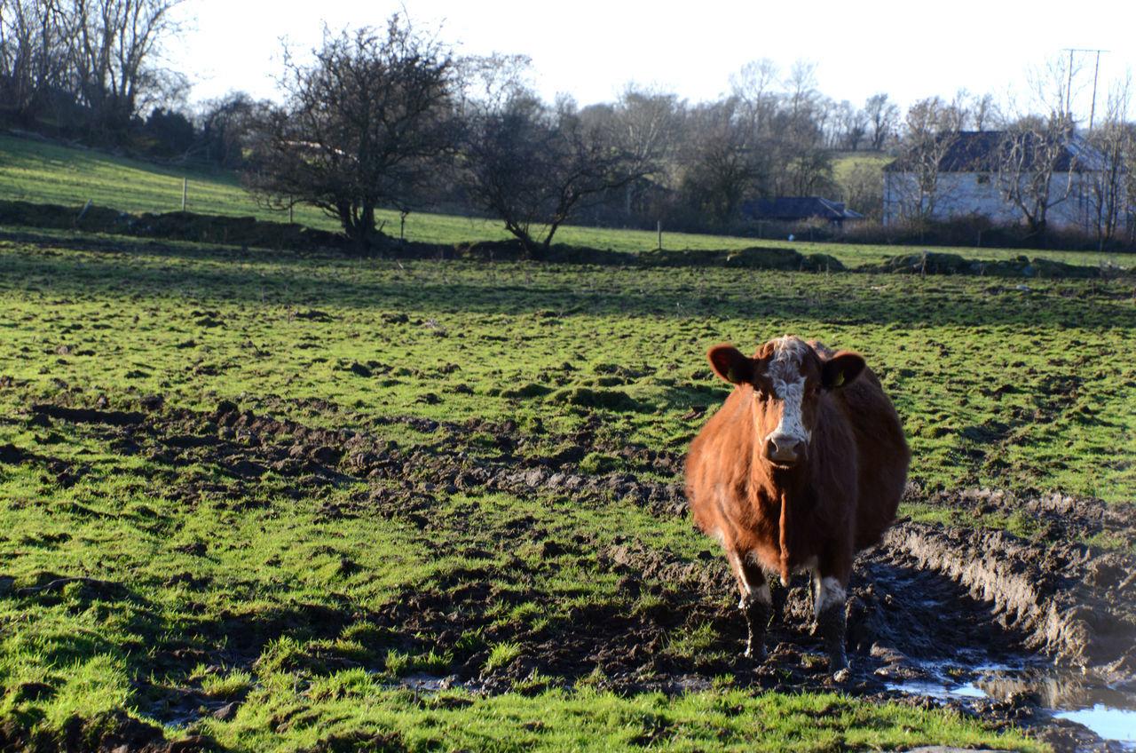 Bovine Cattle Farming Field Livestock Looking At Camera Mammal Muddy Field Outdoors Rotund Beast Solitary Animal