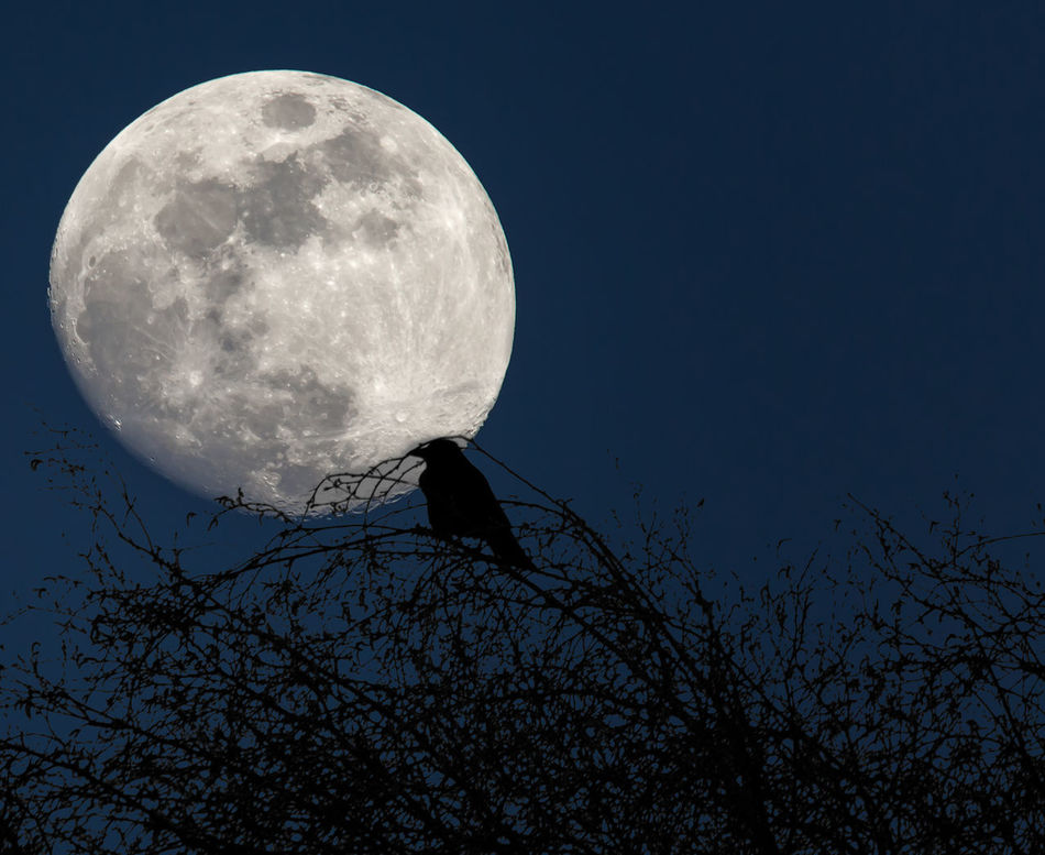 Crow with Moon in back. Astronomy Beauty In Nature Crow Full Moon Moon Moon Surface Nature Night No People Outdoors Scenics Silhouette Sky Tranquility Tree