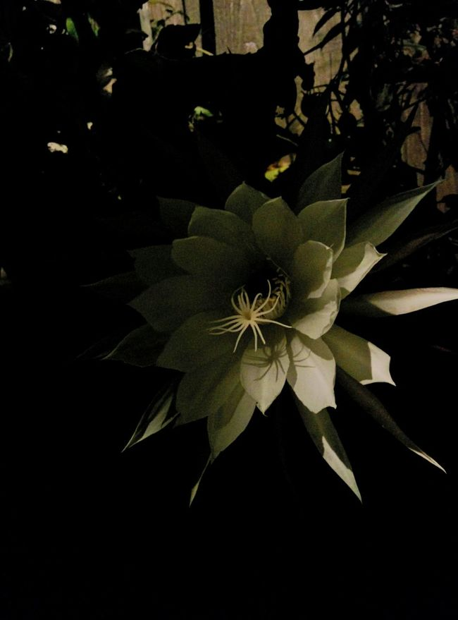 Night Blooming Cereus