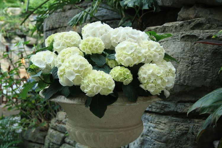 Beauty In Nature Blooming Close-up Day Flower Flower Head Fragility Freshness Green Color Growth Hydrangea Leaf Nature No People Outdoors Plant Water
