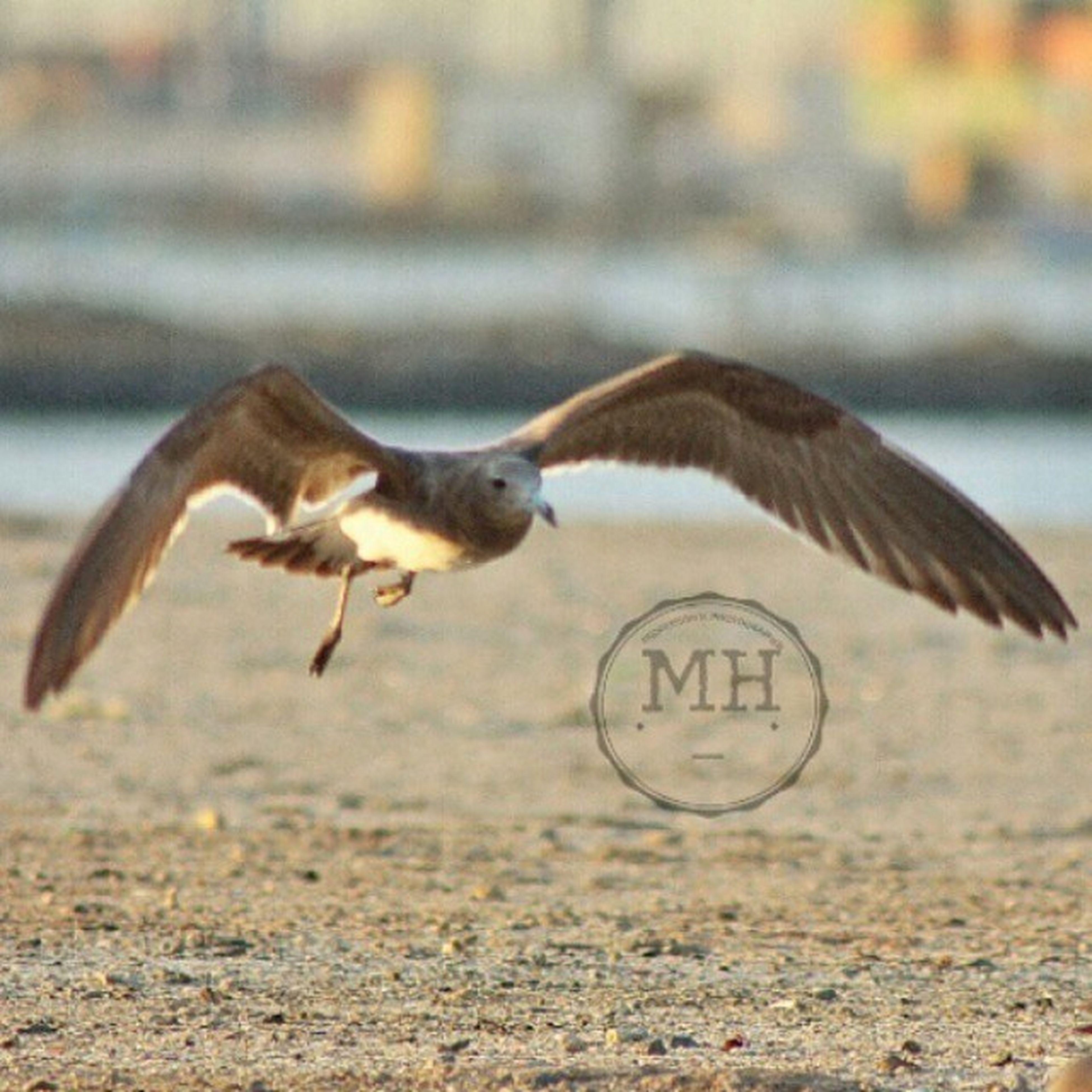 animal themes, animals in the wild, bird, one animal, wildlife, spread wings, focus on foreground, flying, side view, seagull, full length, mid-air, beach, nature, animal wing, sand, selective focus, outdoors, close-up, day