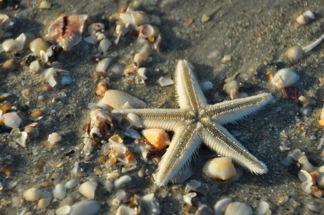 Animal Themes Animal Wildlife Animals In The Wild Beach Close-up Day High Angle View Nature No People One Animal Outdoors Rock - Object Sea Sea Life Starfish  Starfish  Starfish At Beach Water