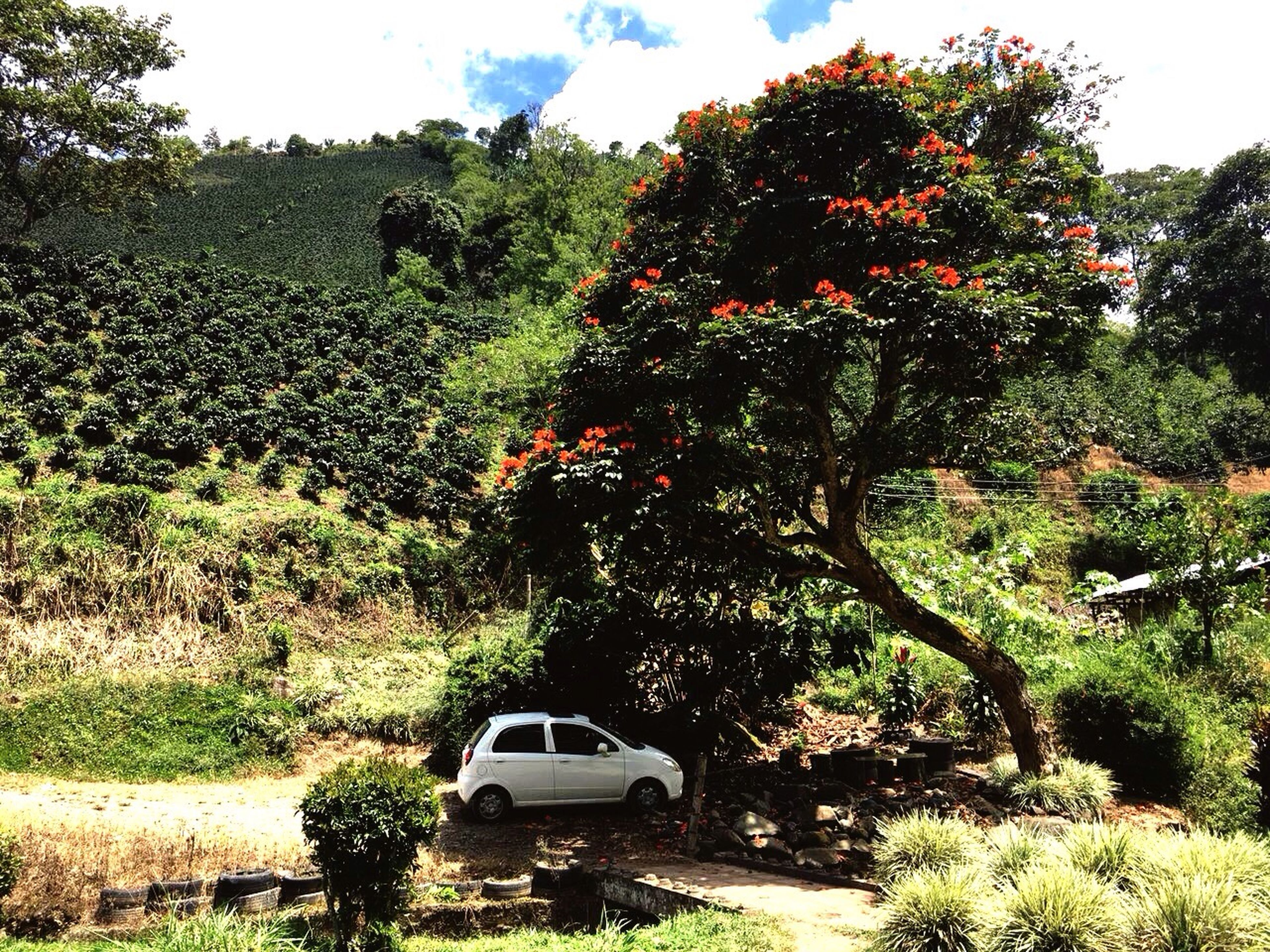 Finca cafetera ☕️ Tree Car Growth Nature Day Plant No People Outdoors Beauty In Nature Sky EyeEm Selects Fotooftheday IPhoneography 3XSPhotographyUnity EyeEm Gallery Taking Photos IPhone Photography Día De Campo Finca Cafetera Tranquil Scene Paisaje Natural Paisaje Cafetero Paisajes únicos