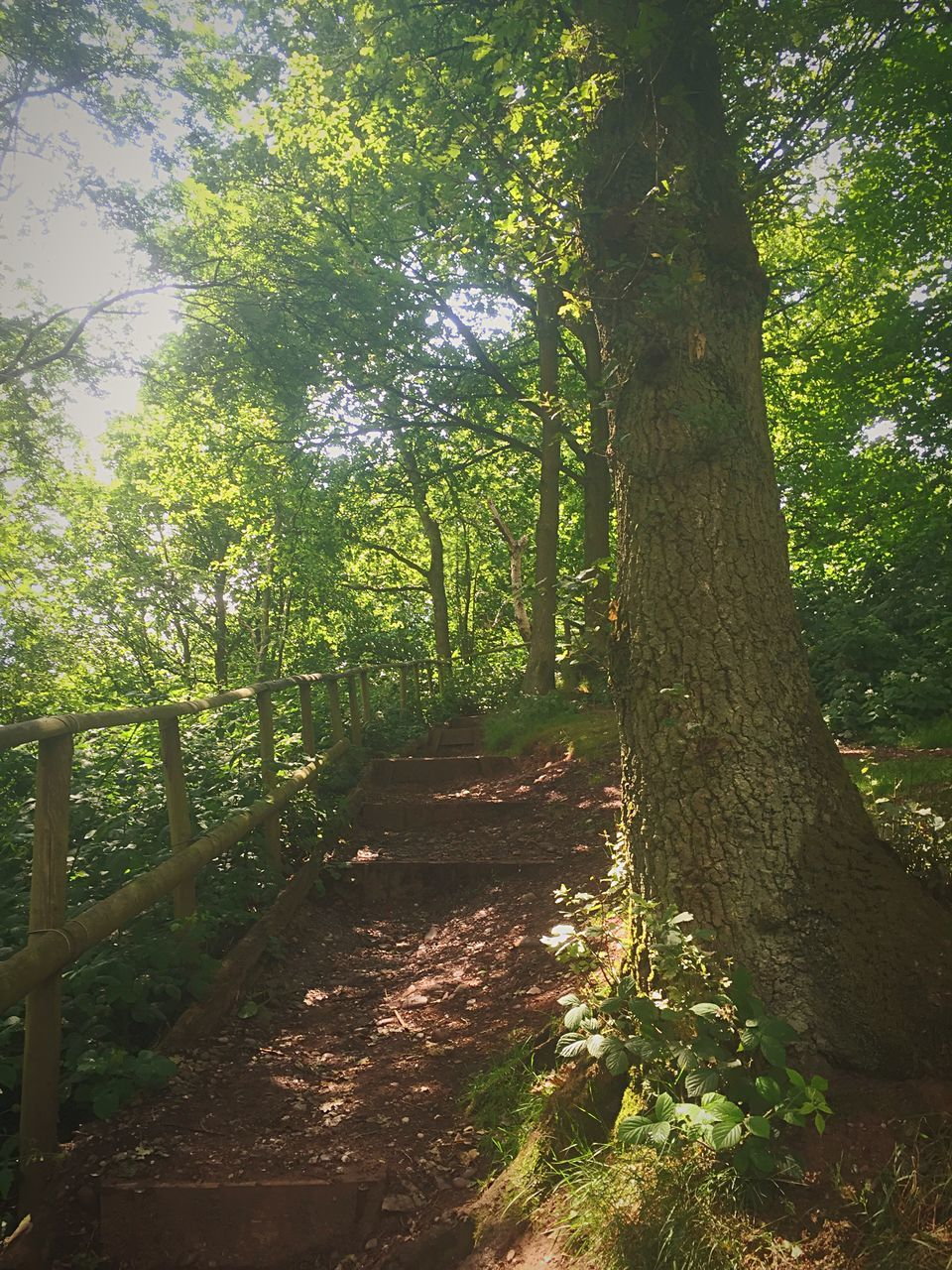 tree, nature, tree trunk, forest, growth, tranquility, sunlight, beauty in nature, tranquil scene, scenics, outdoors, summer, no people, day, landscape, sky