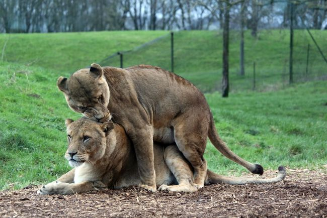 Lions Whipsnade Zoo Love Animal Themes One Animal Animals In The Wild Wildlife Relaxation Mammal Focus On Foreground Zoo Front View Zoology Field Resting Day Outdoors Nature Endangered Species Male Animal Tranquility Solitude No People