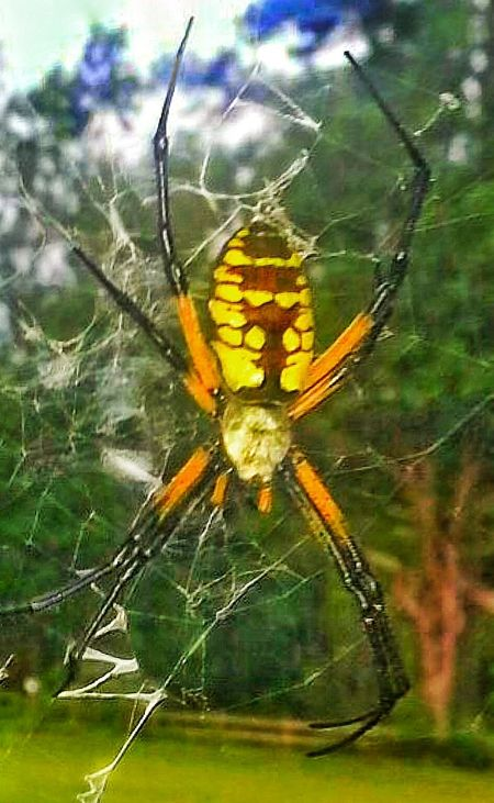Spider Spider Web Spider On Web Ziz Zaz Yellow And Black Spider Archiphotography Insect Insect Photography Insects Collection Spider Close Up Spider Collection Macro Macro Photography Macro Insects Macro Spider Nature Animal Micro Micro Photography 8 Legged Freaks 8 Legs