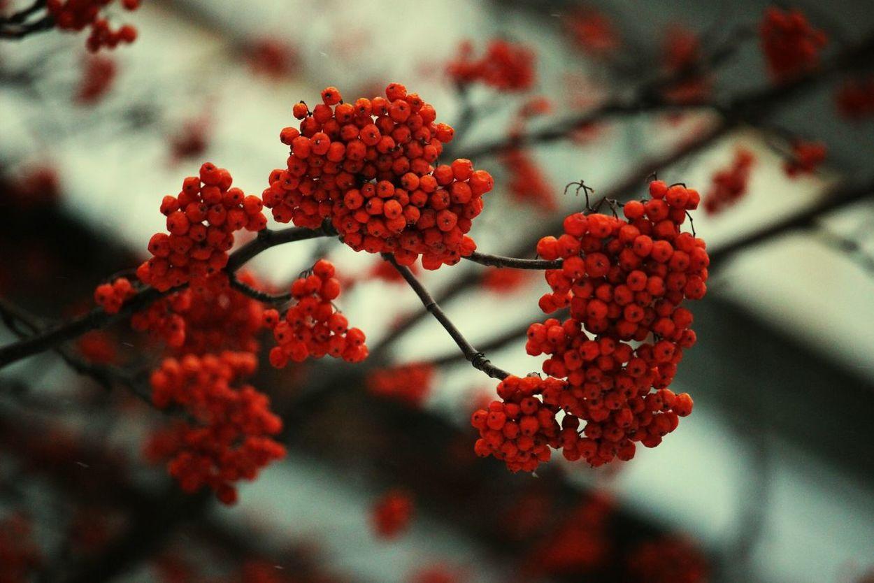 Mountainash Red Siberia рябина зима Winter