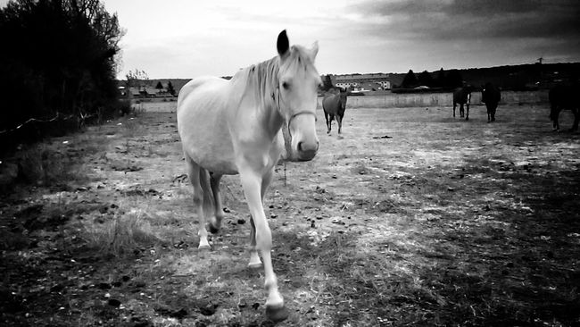 Caballos... Horse Domestic Animals Livestock Mammal Herbivorous Working Animal Field Sky Zoology Outdoors Cloud - Sky Tranquility Tranquil Scene Non-urban Scene Streamzoofamily Telling Stories Differently Españoles Y Sus Fotos LeonEsp  Monochrome Photography Cloud Beauty In Nature StreamzooVille Streamzoo Family Black And White Photography