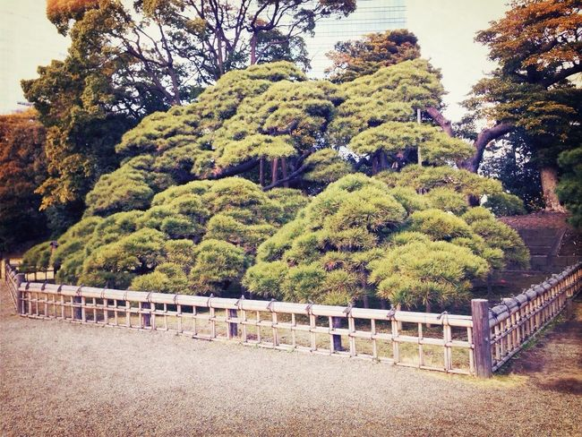 Pine The History Of 300 Years