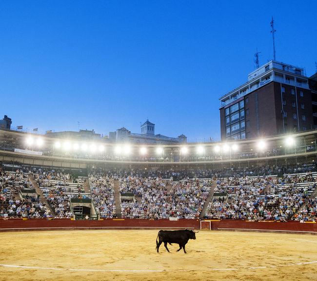 Bull Bullfighting Bullring Clear Sky Domestic Animals Horizontal Illuminated Mammal Night One Animal Outdoors Plaza De Toros Stadium Toro Valencia, Spain València