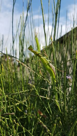 Nature Plant Outdoors Day Field Close-up Green Color No People Grass Beauty In Nature Rural Scene Freshness Praying Mantis