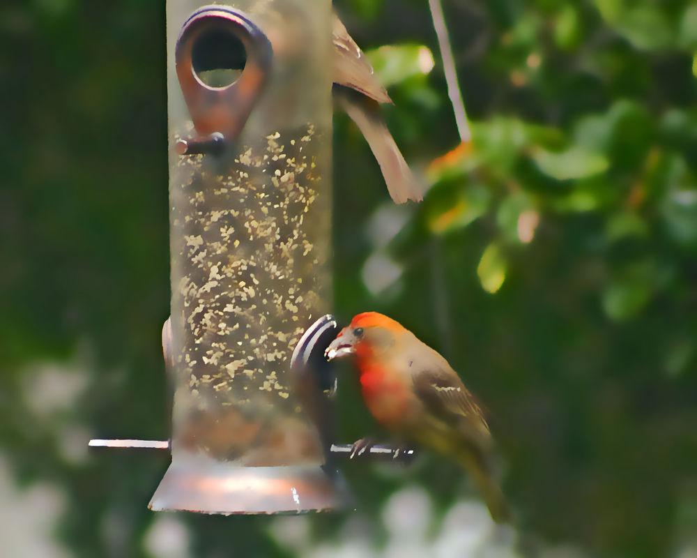 Bird Bird Series Feeder Focus On Foreground No People Orange Finch Outdoors Perching