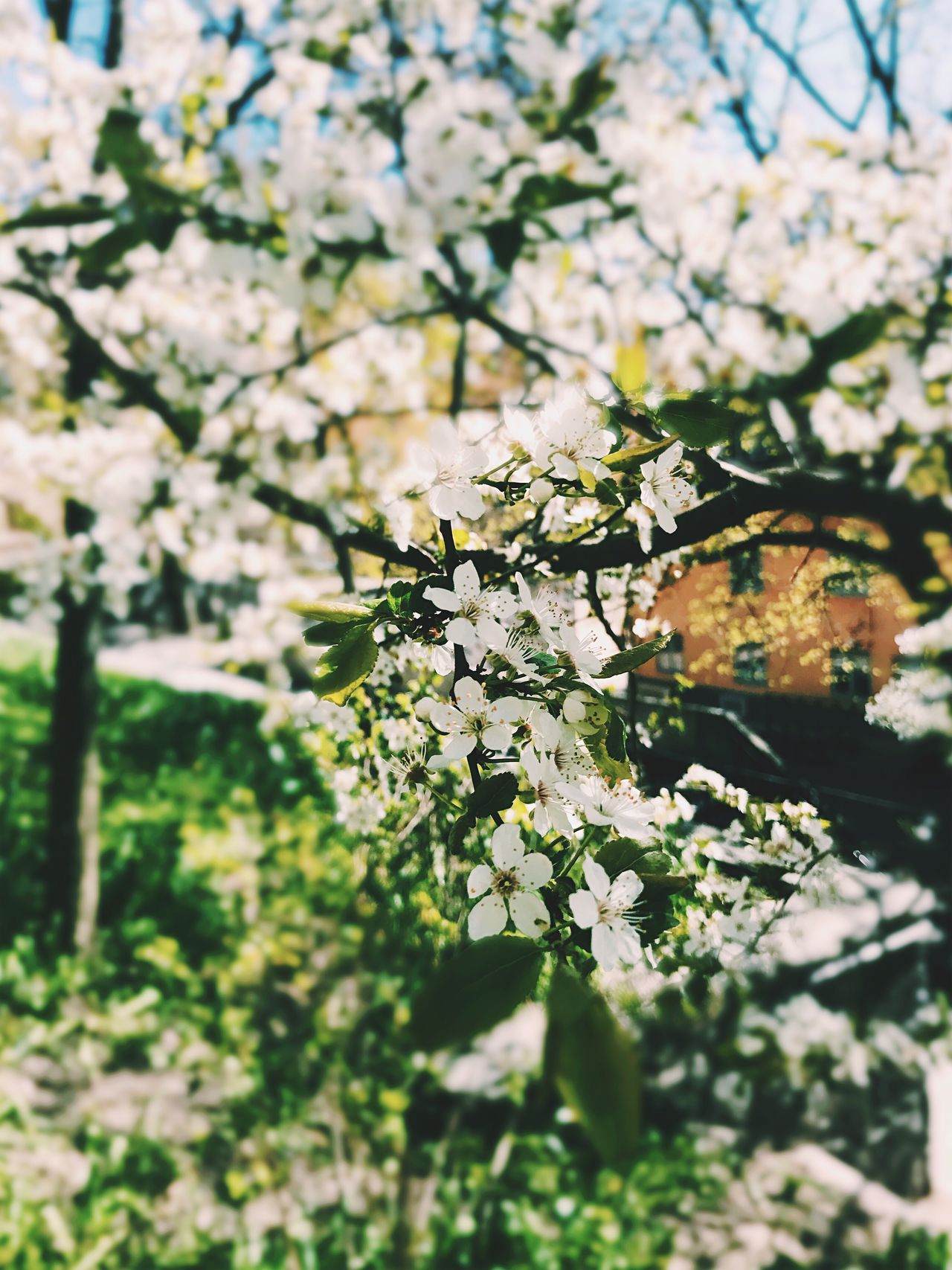 Spring is coming! Flower Blossom Apple Blossom Fragility Growth Springtime Nature White Color Tree Branch Apple Tree Beauty In Nature No People Freshness Orchard Botany Day Outdoors Close-up Blooming