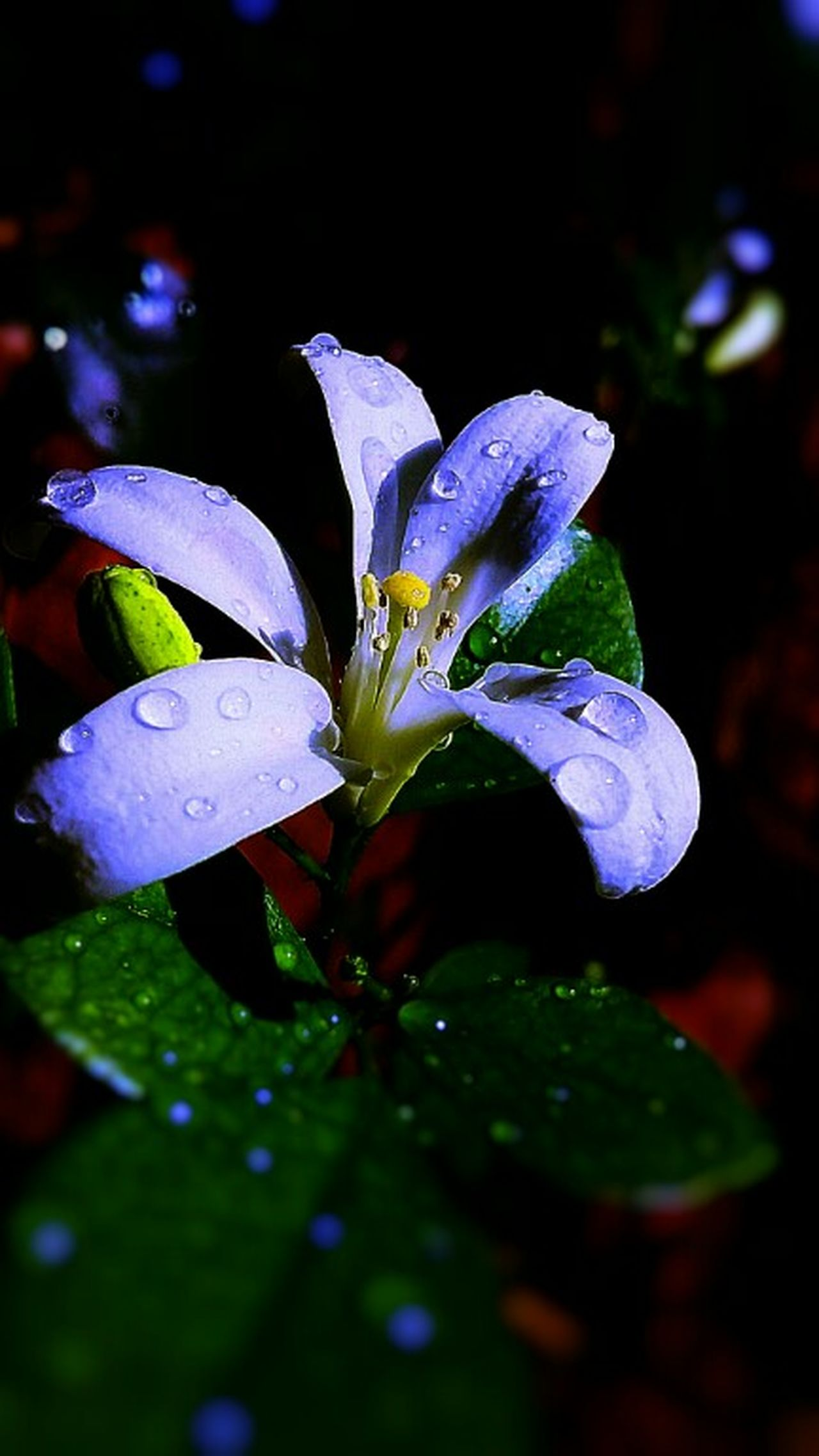 Goodnight...in blue light...😴 ..its raining at night..☁💧..please give me a jacket👚..😉 Flower Macro Lonely Flower Petals Close Up Droplets On Flower Night Photography Getting Inspired EyeEm Gallery Hi Hello World Eyeemphotography Awesome EyeEm Best Shots Still Life Close-up EyeEm Masterclass Eyeem Market Botany Every Flower Is A Soul EyeEm Nature Lover EyeEm Best Shots - Nature Colorful Blooming Check This Out With Love From India💚