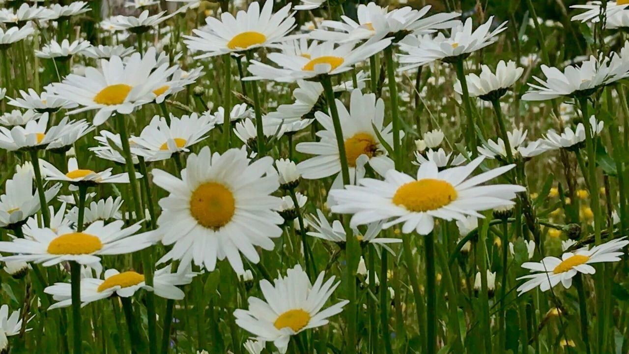 flower, petal, nature, fragility, growth, freshness, white color, beauty in nature, yellow, blooming, plant, flower head, outdoors, day, no people, field, close-up
