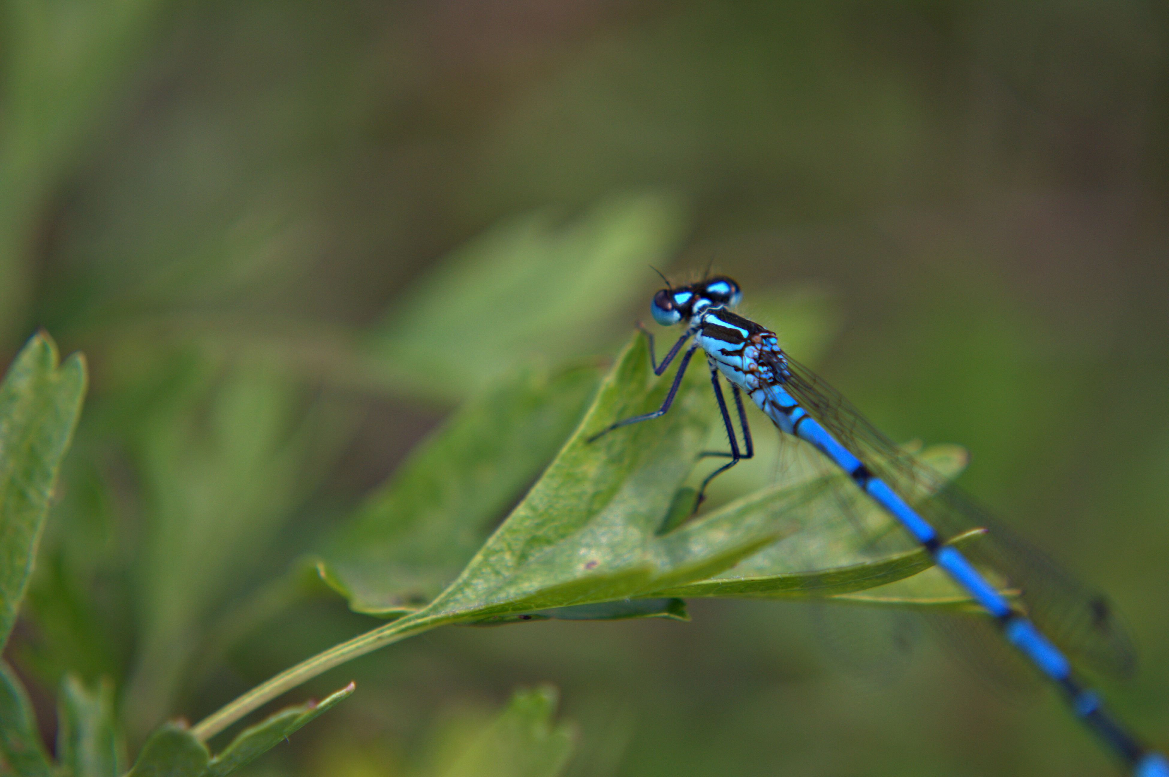 insect, one animal, animal themes, animals in the wild, wildlife, close-up, focus on foreground, selective focus, green color, dragonfly, leaf, plant, nature, day, outdoors, no people, full length, beauty in nature, animal wing, growth