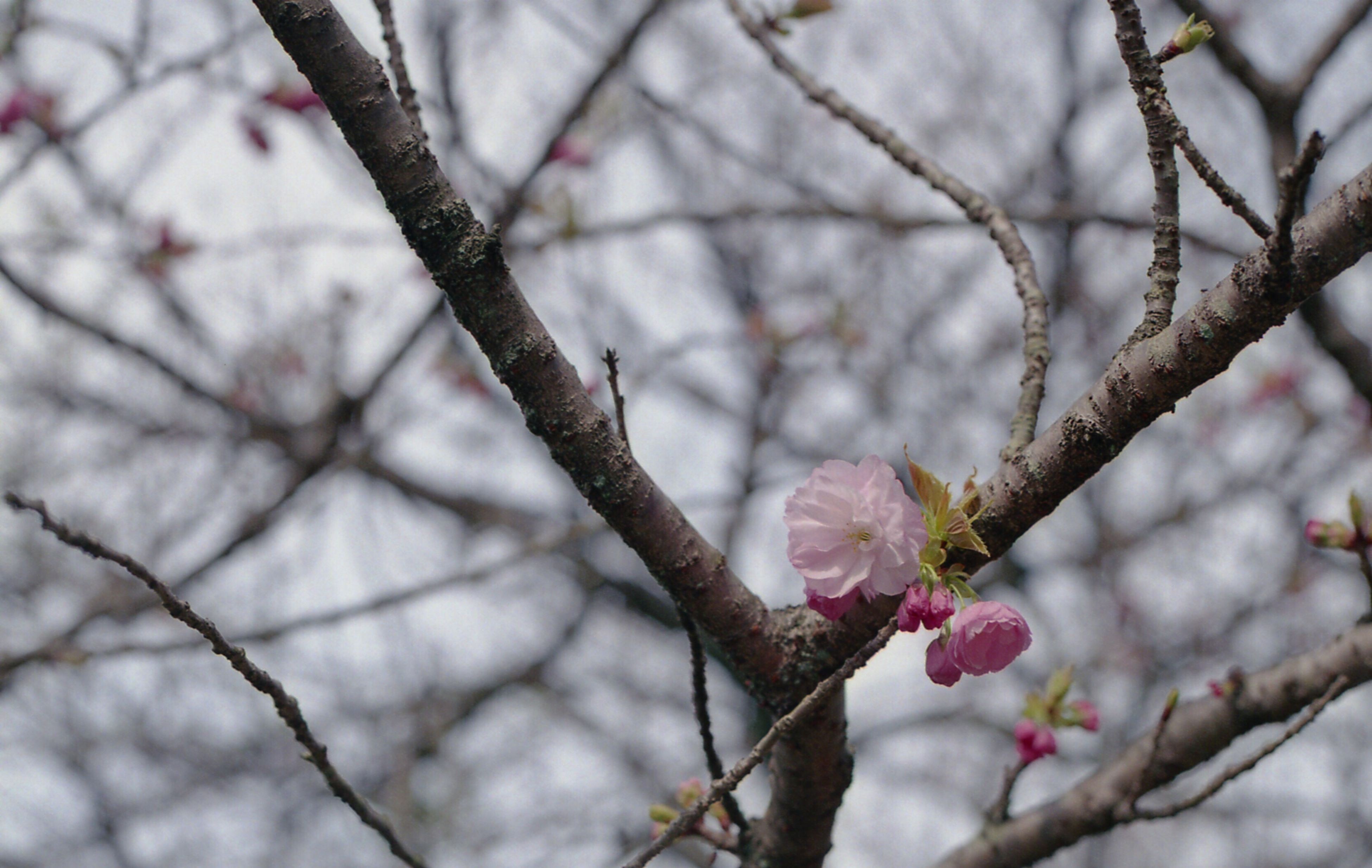 branch, tree, focus on foreground, twig, bare tree, nature, close-up, low angle view, beauty in nature, cherry blossom, growth, winter, season, flower, cherry tree, outdoors, day, no people, selective focus, fragility