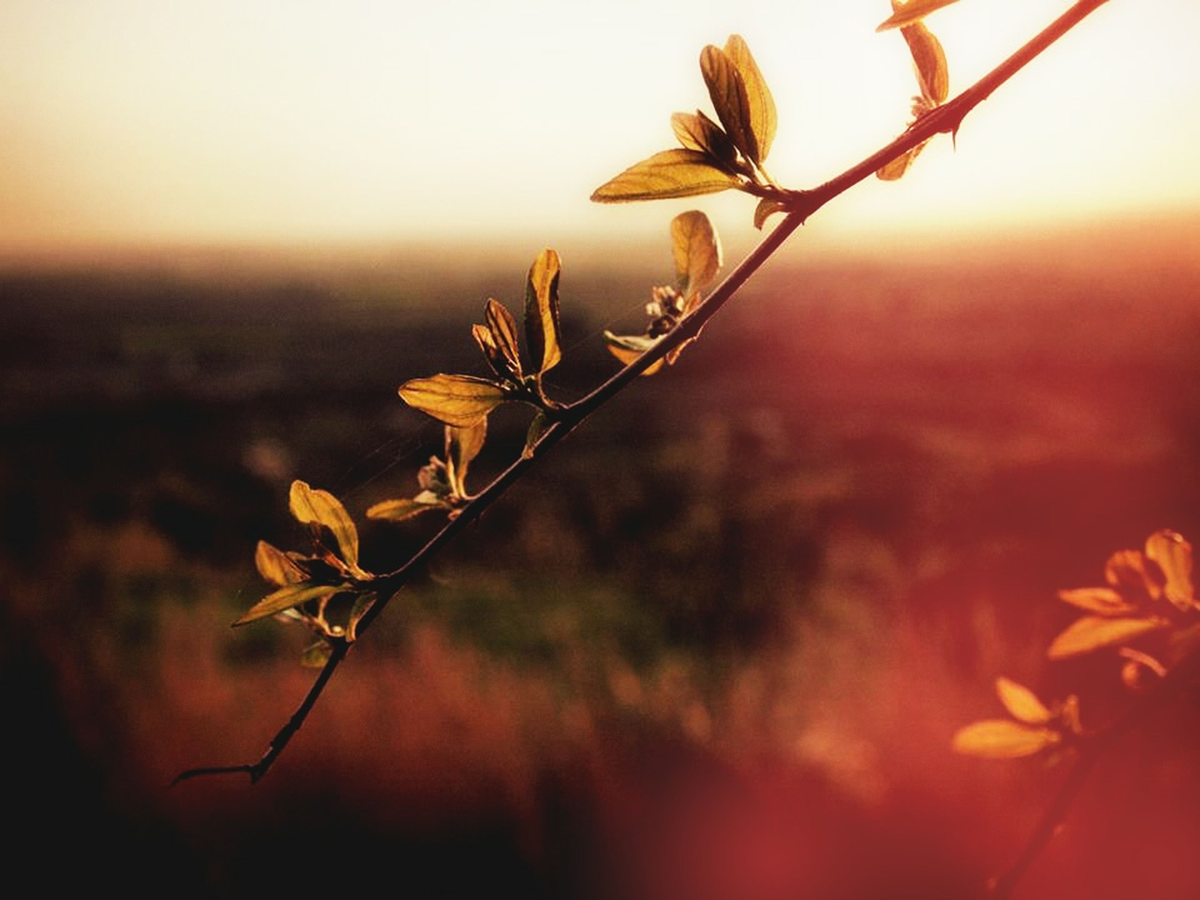 flower, growth, plant, fragility, freshness, focus on foreground, stem, beauty in nature, nature, close-up, sunset, selective focus, bud, field, petal, flower head, tranquility, botany, orange color, outdoors