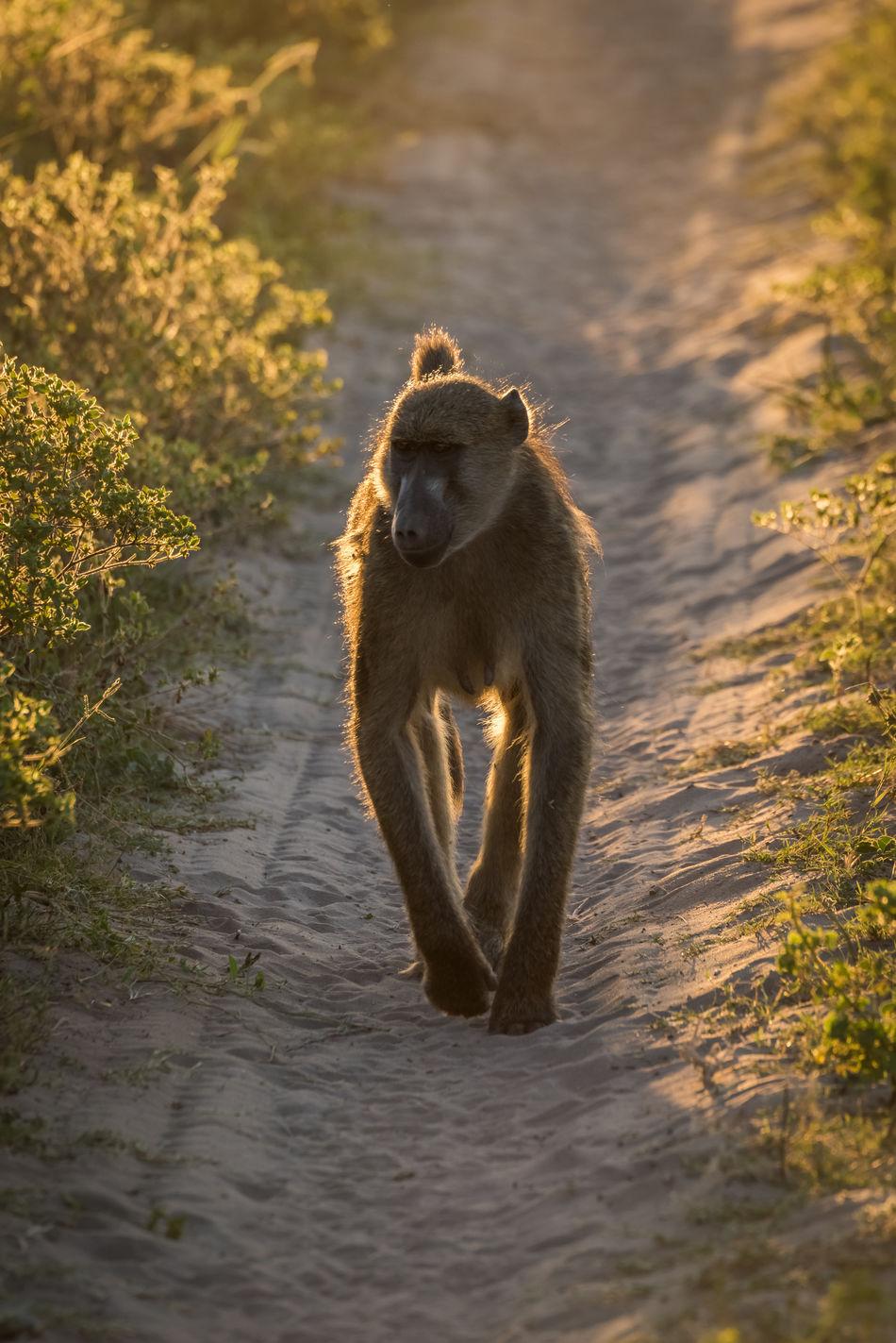 Beautiful stock photos of baer, Animal Themes, Animal Wildlife, Animals In The Wild, Botswana