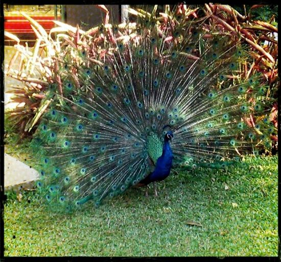 Hanging Out Enjoying Nature Nature's Takeover Zoo Ave  Pavo Real