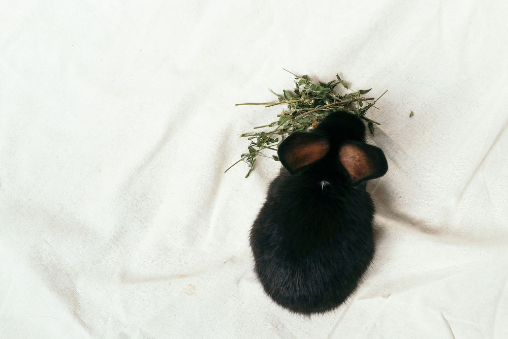 Animal Black Rabbit Carefree Close-up Domestic Animals Mammal Medicago Sativa No People One Animal Pets Rabbit Relaxation Learn & Shoot: Simplicity