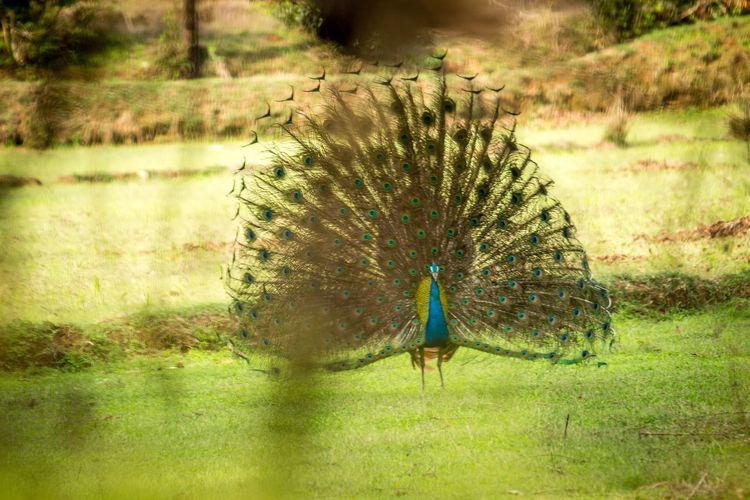 Nature Peacock No People Outdoors Grass One Animal Day Animals In The Wild Beauty In Nature Animal Themes Fanned Out Peacock Feather Bird Water Blue Peacock Dancing Proud Bird King Of Birds Wildlife Photography EyeEmNewHere Be. Ready.