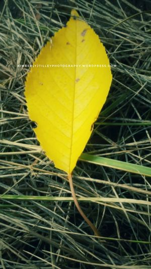 An old leaf from a Cherry Tree. Paint The Town Yellow Nature Grass Outdoors Autumn KimberlyJTilley Leaf