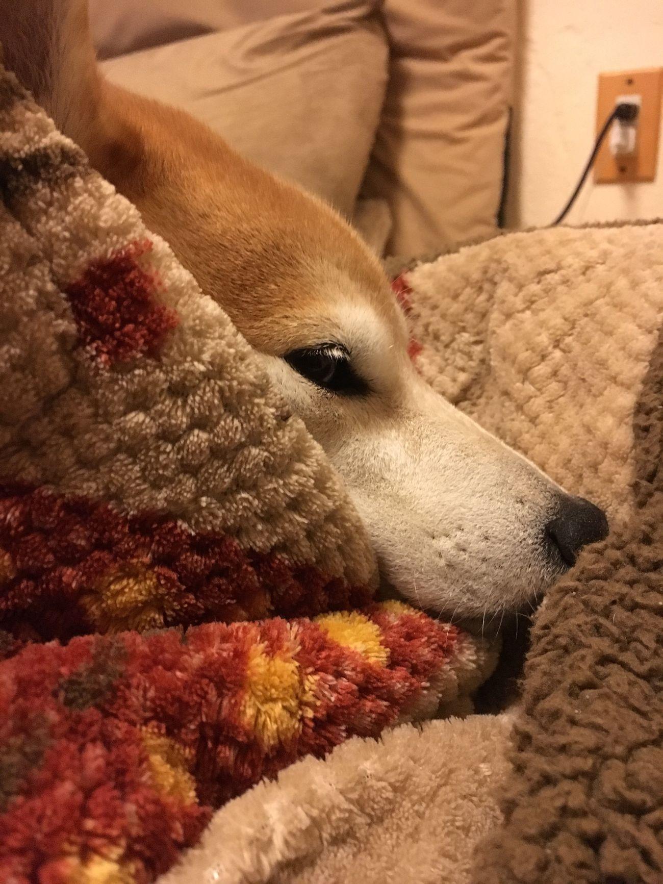 Dog Shiba Inu LOVE Shiba Inu Pets