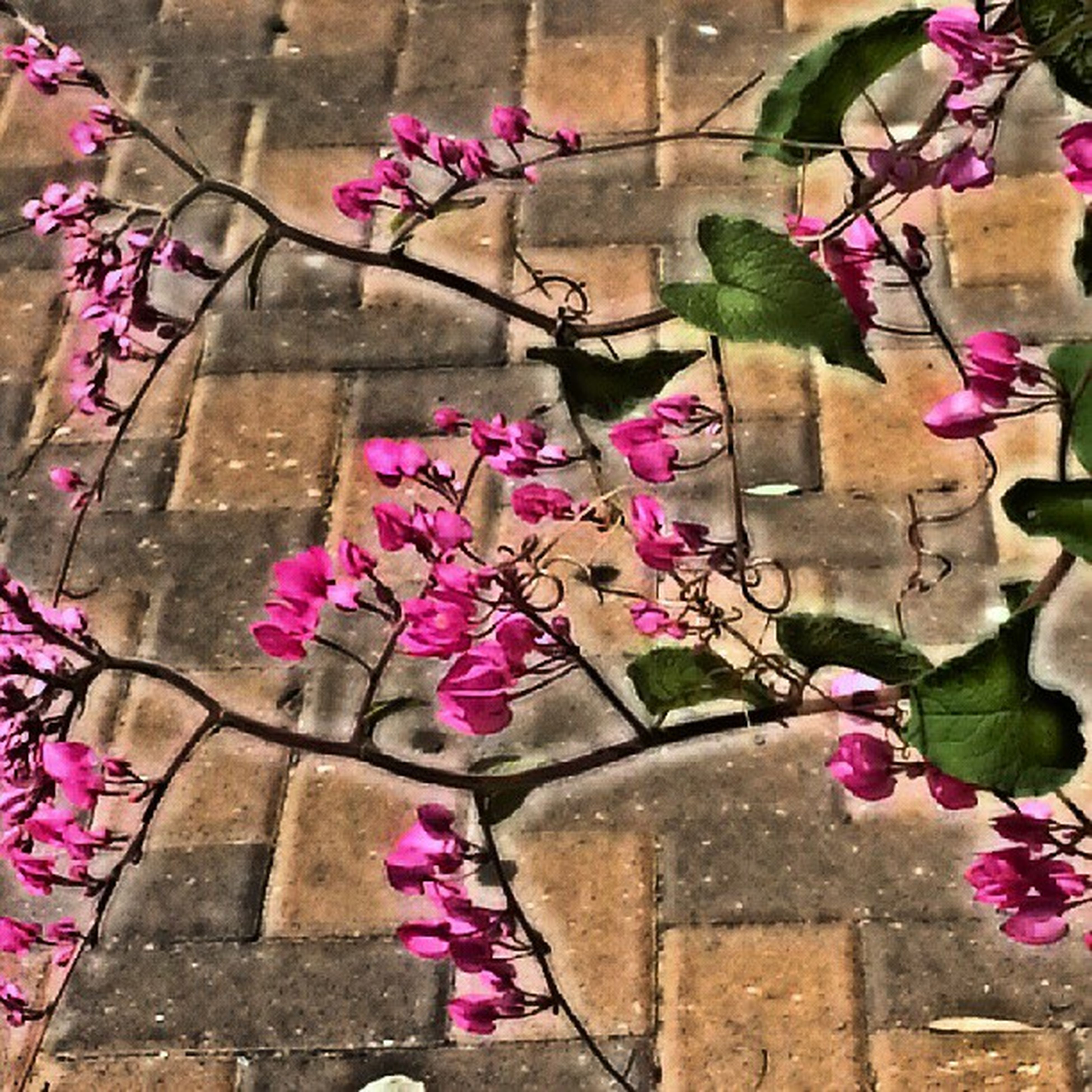 flower, pink color, fragility, freshness, wall - building feature, plant, growth, built structure, architecture, petal, building exterior, wall, brick wall, nature, blooming, leaf, beauty in nature, stone wall, in bloom, purple