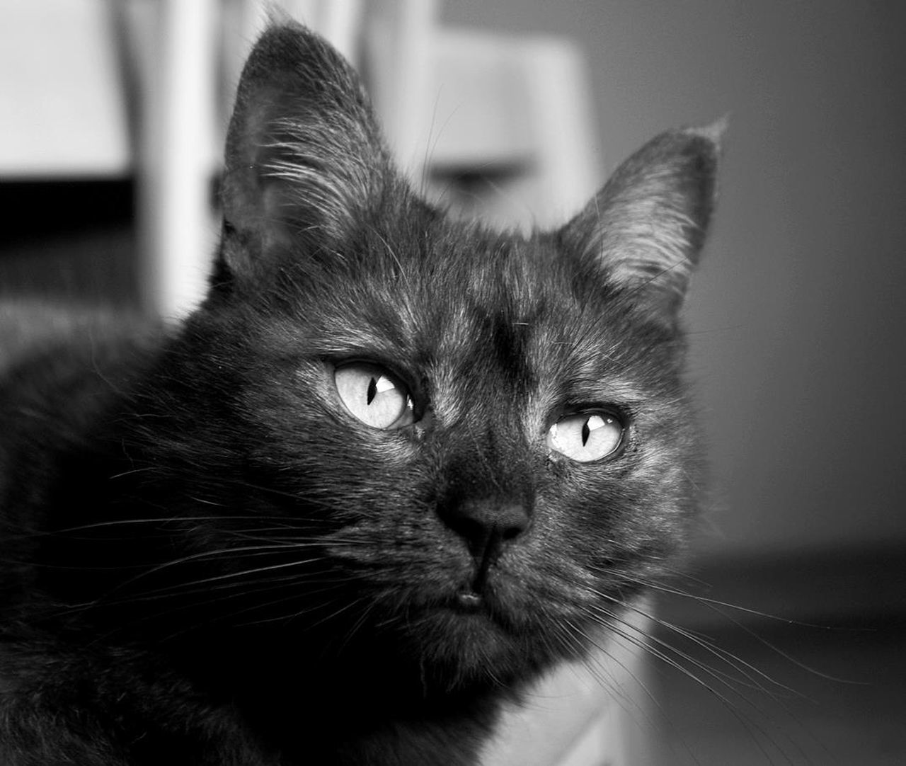 domestic cat, one animal, animal themes, pets, mammal, domestic animals, feline, whisker, indoors, close-up, home interior, focus on foreground, no people, looking at camera, portrait, day